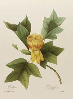 Yellow Tulip Tree Flower Print, Botanical Wall Hanging (Colorful Home Decor Art) Redoute Artist Illustration, Lithograph No. Vintage Botanical Prints, Botanical Drawings, Antique Prints, Vintage Prints, Tulips Flowers, Botanical Flowers, Botanical Art, Flower Prints, Flower Art