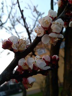 Dzisiaj całe drzewo 🌳 zapylały pszczoły 🐝 Apricot Blossom, Rose, Nature, Flowers, Plants, Pink, Naturaleza, Plant, Roses