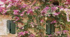 Bougainvillea in Italy