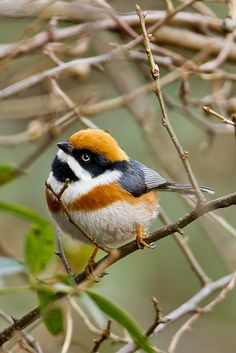 Black-throated Tit 紅頭長尾山雀 by Chong Lip Mun on Flickr