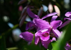 Costa Rica's national flower, an orchid (Guaria morada)