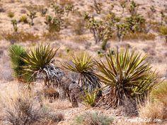 Mojave Yucca or Spanish Dagger (Yucca schidigera) on Mount Charleston, Nevada