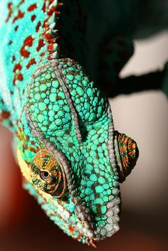 ziggy, a pet chameleon.... by robferblue