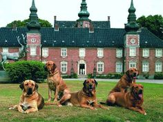 Broholmer dogs in front of Jægerspris Castle, Denmark