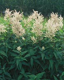 Persicaria polymorpha - Giant Fleece Flower - full sun to part shade, ft tall & wide zones late spring through summer avant gardens Flower Names, Blooming Plants, Ornamental Plants, Zinnias, Drought Tolerant, Green Leaves, Evergreen, Garden Plants, Shrubs