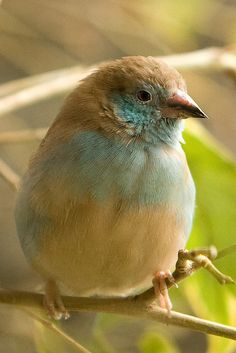 Red-cheeked Cordon-bleu...the prettiest bird I've ever seen!  Lovely colors.