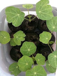 3 things about sowing nasturtium seeds.  Every part of this plant is edible, leaves, stems, flowers.