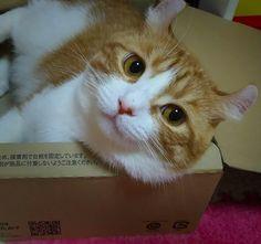 与作ちゃんと段ボール #アメリカンカール #cat