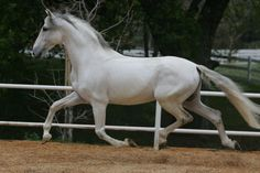 Deslumbrado MAC, P.R.E. Stallion out of Zambra VI and Gastador VIII.  These horses are just so beautiful, so trainable and so easy to ride. More info at www.prehorse.org