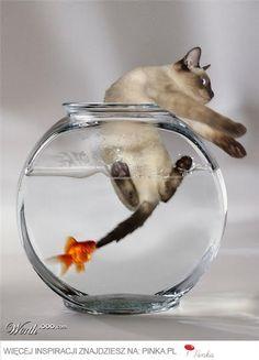 Złota rybka i kot