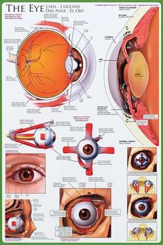Anatomy of the Human Eye Optometry Educational Poster 24x36