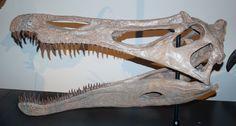 Suchomimus_skullcast_aus.jpg (1000×536) - Réplique, the Australian Museum, Sydney. Dinosauria, Theropoda, Spinosauridae, Baryonychinae. Auteur : Matt Martyniuk, 2008.