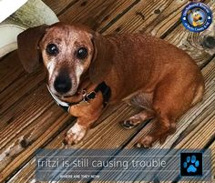 *** FRITZI IS CHECKING IN *** Last year DRBC helped an older guy named Fritz when his Mom died and Dad could no longer care for him. His leg was broken and vision was failing. He was massively obese.   #siggy #dog #doxie #dachshund #dogoftheday #doxieoftheday #dachshundoftheday #sweet #drbc #love #dachshundsofinstagram #salchicha #teckel #dackel #teamweenie #weenie #donate #give #care