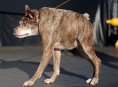 """This dog might scare some with his hyena or Tasmanian devil looks, but he is the sweetest """"ugliest"""" dog in this world. Scary Dogs, Ugly Dogs, Weird Dogs, World Ugliest Dog, Ugliest Dog Contest, Dog Competitions, Bizarre News, Funny Today, Have A Laugh"""