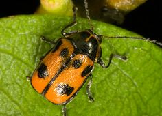 Cryptocephalus sexpunctatus Six-spotted Pot Beetle Pictures Of Insects, Beetles, Wildlife, Animals, World, Dragon Flies, Insects, Bowties, Animales