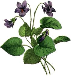 Vintage Violets Image-Copied from an old book of botanical drawings,-With Love,from The Graphics Fairy