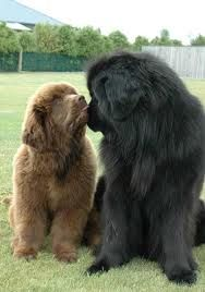 Best Dogs Ever, Love Newfoundlands!