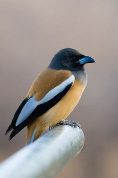 The 'Rufous Treepie' is a treepie, native to the Indian Subcontinent and adjoining parts of Southeast Asia. It is a member of the Corvidae family. It is long tailed and has loud musical calls making it very conspicuous.