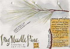 Doodlewash and watercolor sketch by Tonya at Scratchmade Journal of Long Needle Pine