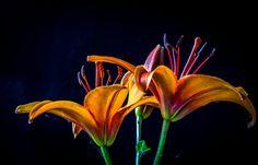Oranje lelies tegen een zwarte achtergrond