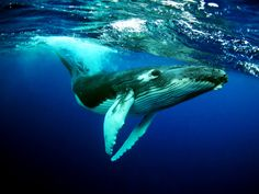 What do a humpback and a wind turbine have in common? Scalloped blade edges.