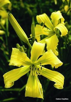 """$10 SPIDER MIRACLE - Oakes Daylilies 32"""" tall, mid-season, dormant"""