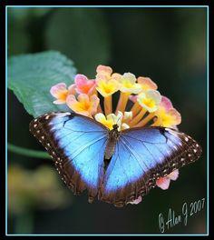 Blue Morpho on lantana, Lantana reminds me of a miniature bouquet.  My kids used to give those to me, always reminds me of them <3