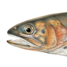 Paiute Cutthroat Trout. Illustrated and © by Joseph R. Tomelleri.