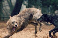 We Love Irish Wolfhounds : Photo