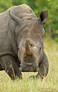 Large White Rhino Bull....absolutely beautiful creatures, I don't know how…