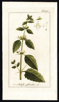 Lemon Balm Profile - Melissa officinalis