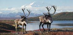 Zwei Karibus vor der grandiosen Kulisse des Mount McKinley, mit 6195 Meter Höhe der größte Berg in Alaska. Die nordamerikanischen Rentiere leben geschützt im Denali National Park, wo rund 2000 Stück der Geweihträger frei umherziehen – Diese Karte hier online kaufen: http://bkurl.de/pkshop-211169 Art.-Nr.: 211169 Geweihträger | Foto: © Michio Hoshino | Text: Rolf Bökemeier