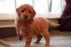 Red Goldendoodle puppy from River Valley Doodles; Jada's 2013 litter.  This is Angel at 2 months old; she's already adopted.
