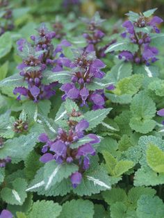 Lamium Chequers Great companion to the Hosta Kiwi Full Monty that we already have in this bed.  Mix with Palace purple heuchera, and Japanese painted fern?