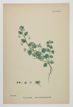 old botanical illustrations
