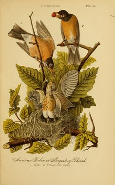 American Robin. Report on the birds of Pennsylvania. With special reference to the food-habits, based on over three thousand stomach examinations Harrisburg,E.K. Meyers, State Printer,1888. Biodiversitylibrary. Biodivlibrary. BHL. Biodiversity Heritage Library
