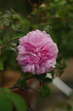Gallica Rose: Rosa 'Henri Foucquier' (origins unknown, before 1842)