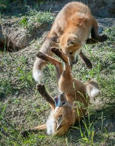 foxes playing ♥