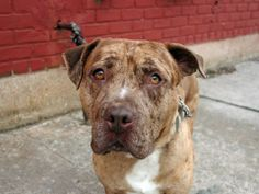 URGENT! Brooklyn Center  CHIP - A0993080. MALE, BR MERLE / WHITE, PIT BULL MIX, 4 YRS THIS BEAUTIFUL BOY IS WAITING FOR YOU! DON'T LET HIS LAST DAYS BE AT THIS FACILITY!  https://www.facebook.com/photo.php?fbid=767273779952170&set=a.617941078218775.1073741869.152876678058553&type=3&theater
