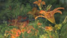 Dissolving from lilies in the meadow to Nathalie Engdahl's painting of these eye-catching flowers.