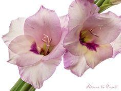Blumenbild nach Wunsch: Triumpf der Siegreichen auf Leinwand, Kunstdruck oder Fototapete