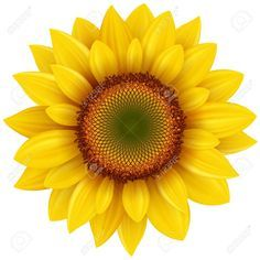 Find Vector Sunflower Realistic Illustration stock images in HD and millions of other royalty-free stock photos, illustrations and vectors in the Shutterstock collection. Sunflower Pictures, Sunflower Art, Yellow Sunflower, Sunflower Illustration, Sunflower Wallpaper, Clip Art, Orchid Care, Flower Clipart, Banner Printing