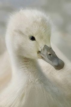 Sweet close-up of a baby swan