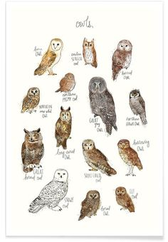 A chart featuring the barn owl, barred owl, short-eared owl, long-eared owl. Owls Art Print by Amy Hamilton on Animal Drawings, Art Drawings, Drawing Owls, Drawing Animals, Vogel Illustration, Elf Owl, Saw Whet Owl, Barred Owl, Burrowing Owl
