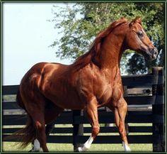 Stallion aqha horse