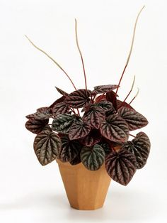 """Watermelon Peperomia 