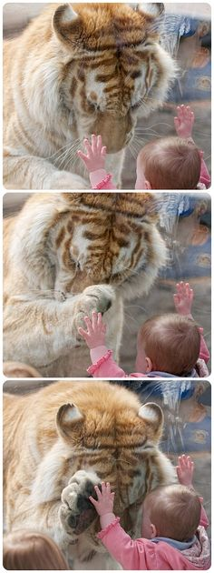 Photos capturing the moments when a tiger bowed its head and placed a paw up to the hand of a small girl.  Photographer Dyrk Daniels noticed the 370lb Golden Bengal Tiger had taken an interest in the child, who was leaning against his glass enclosure.  As the tiger, Taj, headed over to her Mr Daniels got his camera ready.  http://www.dailymail.co.uk/news/article-2055257/Easy-tiger-Remarkable-moment-baby-holds-hand-Bengal-tigers-paw-dont-worry-theyre-separated-glass.html#axzz2JyG36wz2