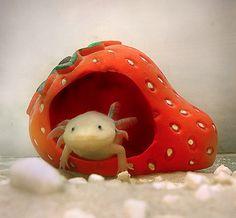Axolotl in its strawberry house :)