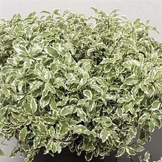 Pittosporum Tenuifolium is the smaller leaved pitto variety & is variegated. 35cm tall & wholesaled in 10 bunch wraps.