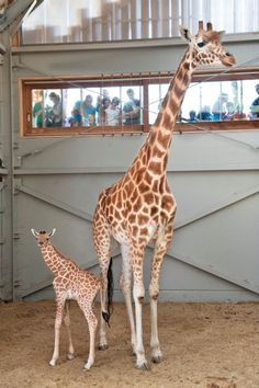 baby giraffe born in belgium